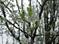 Close-up of some Bradford pear blossoms. Photo by Victoria Laughlin, 2013.